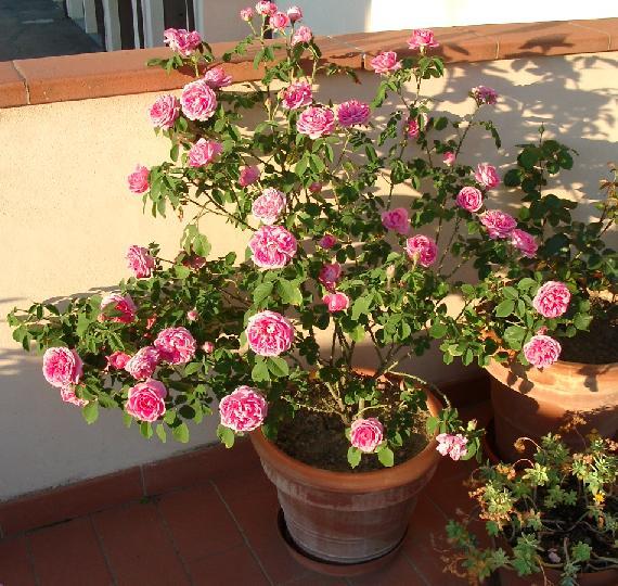 Inglesi e Sole | Forum di Giardinaggio.it